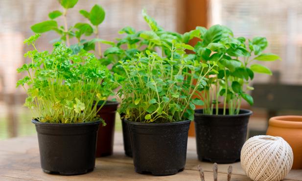 Como plantar ervas arom ticas - Cultivar plantas aromaticas en casa ...