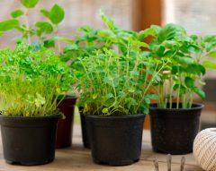 Como plantar ervas aromáticas