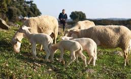 Borrego Pingo Doce: criado no pasto