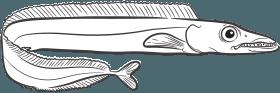 Peixe-espada Preto